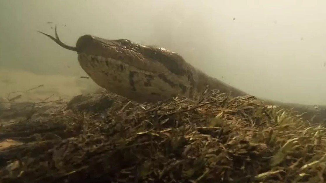 Italiani përballë anakondave gjigante, nuk e dridh as qerpikun! – VIDEO