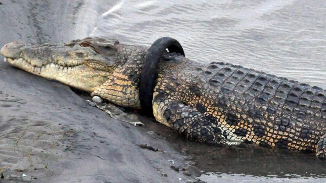 Krokodilit i ngec goma në qafë, shpërblim atij që ia heq – VIDEO