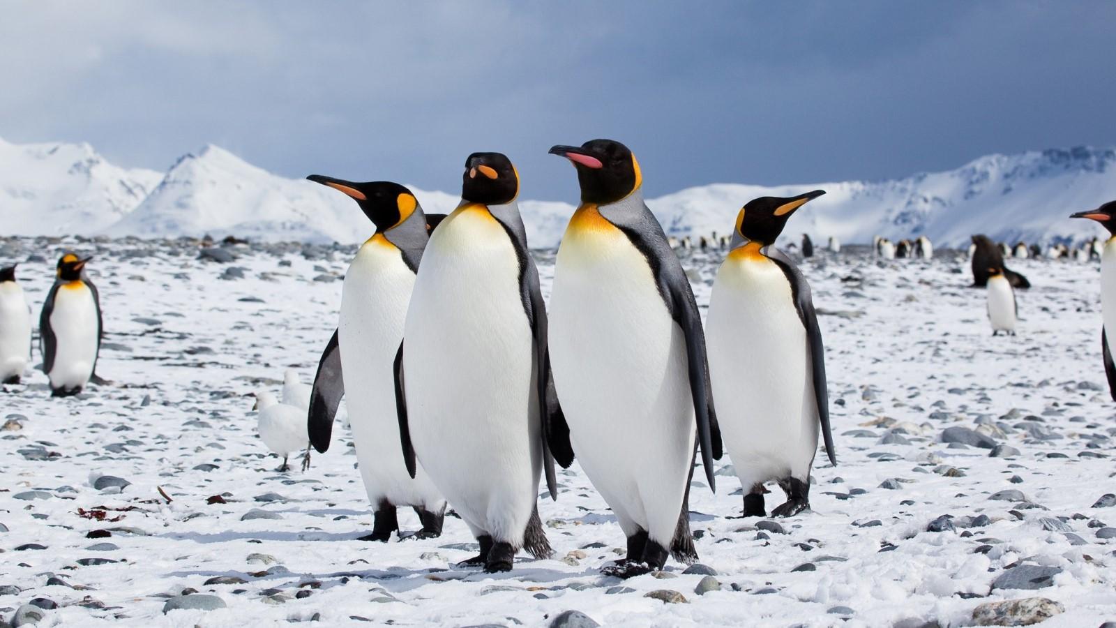 Zvogëlohet ndjeshëm popullsia e pinguinëve mbretër – VIDEO