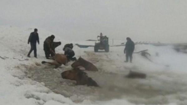 Fermerët i shpëtojnë 11 kuaj nga lumi i akullt – VIDEO